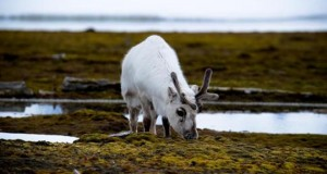 A reindeer is pictured on June 4, 2010 in Ny-Alesund in the Svalbard archipelago, Norway (AFP/File, Martin Bureau)