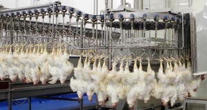 EU: Waterbath best option for poultry stunning, says EC