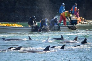 This handout photo taken on January 19, 2014 by environmentalist group Sea Shepherd Conservation Society shows bottlenose dolphins being taken captive in the Japanese town of Taiji. AFP